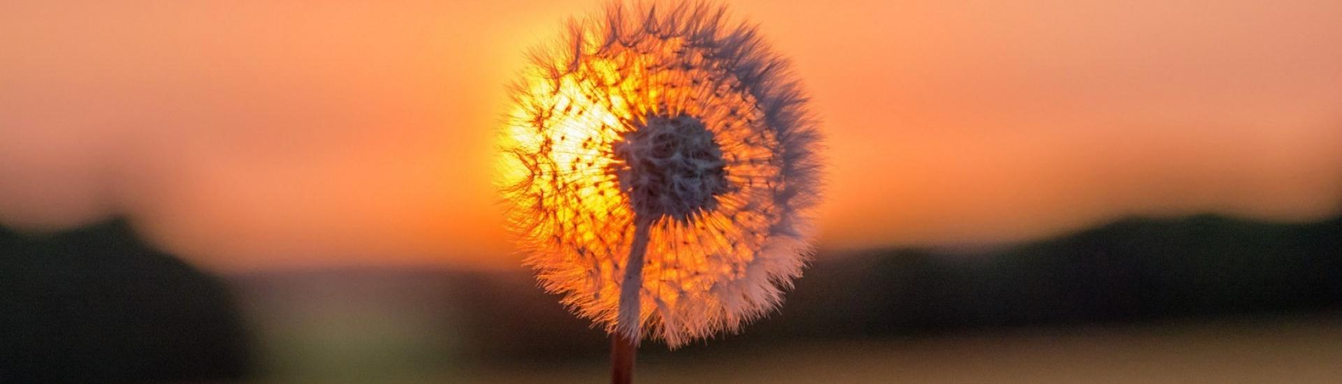 files/Dandelions/Plant-Sky-Sunset-Dandelion.jpg
