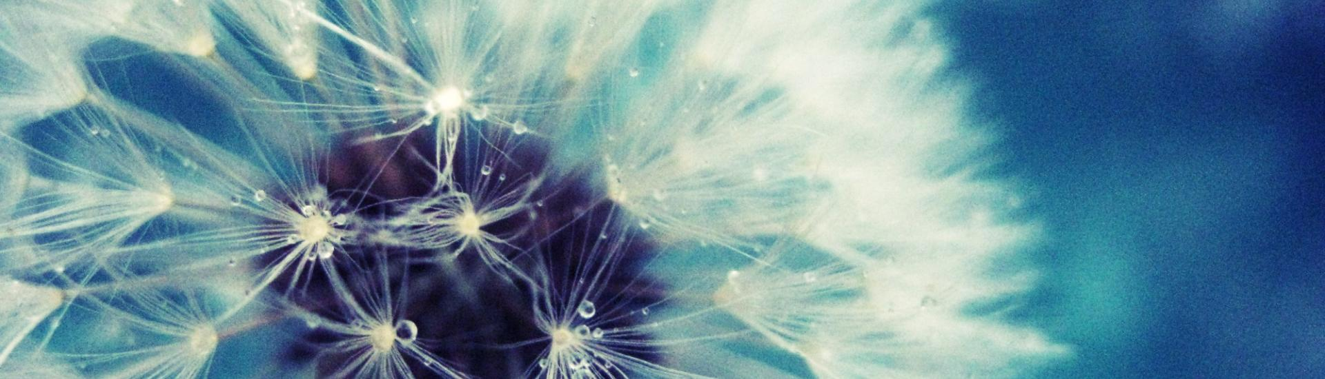 files/Dandelions/dandelion-wallpaper-24.jpg